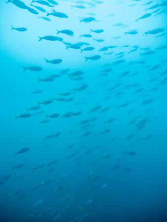 schooling barracuda fish in gulf of Thailand Reklamní fotografie