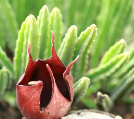 carrion: carrion flower
