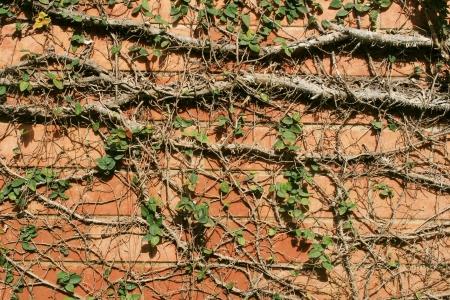 climber plant photo