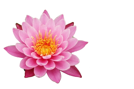 lotus on white background photo