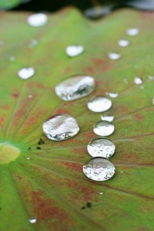 drops on lotus leaves photo