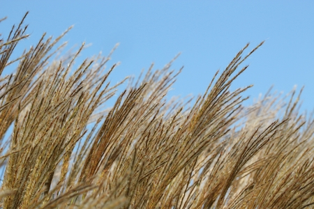 bullrush: Close up of grass flower with clearly sky. Stock Photo