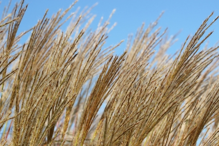 scrub grass: Close up of grass flower with clearly sky. Stock Photo