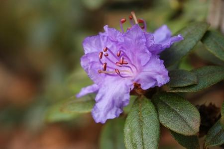 Rhododendron rassatum Stok Fotoğraf