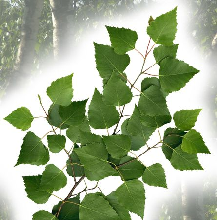 copse: Birch twig with leaves