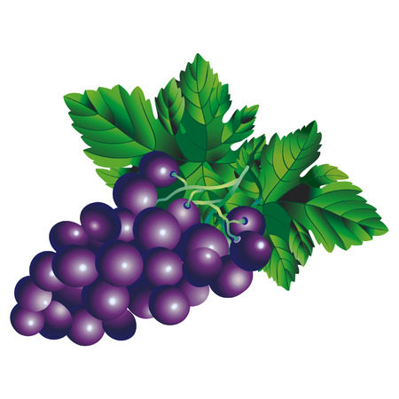 Vector image of a bunch of grapes Zip-file includes: AI (v.8), Corel (v.8), JPEG (5236x4134)