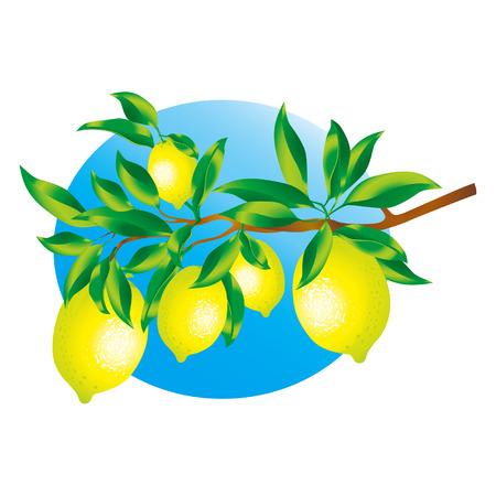 juicy: Vector image of a sprig of lemons Zip-file includes: AI (v.8), Corel (v.8), JPEG (5000x3300)