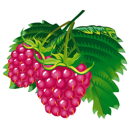 fragrant: Vector image of raspberries Zip-file includes: AI (v.8), Corel (v.8), JPEG (4724x4094) Illustration