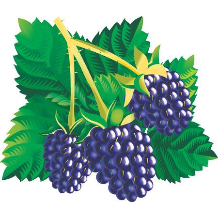 moras: Vector de imagen de tres moras con hojas Vectores