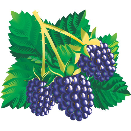 Vector image of three blackberries with a leaves