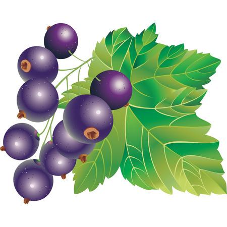 Vector image of black-currant Иллюстрация
