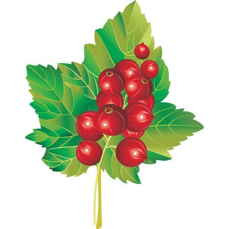 レッドカラント: 甘酸っぱい赤すぐりのベクトル画像