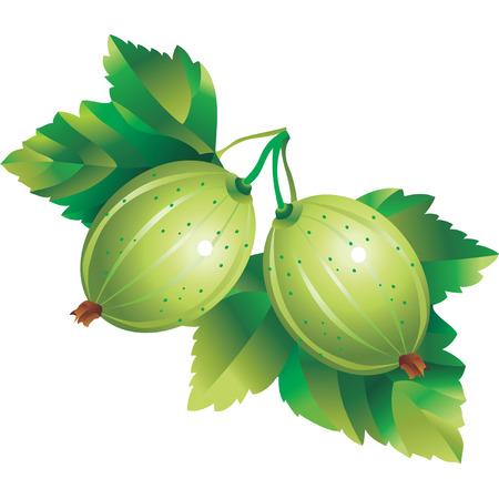 grosella: Vector de imagen gooseberry