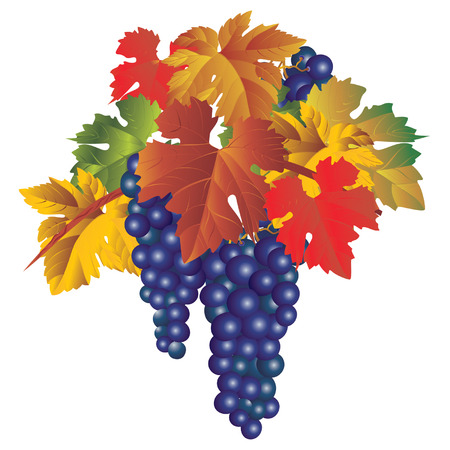 leafage: Vector image of a bunch of grapes