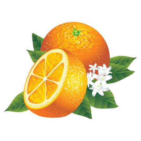 citrus: Vector image of two oranges