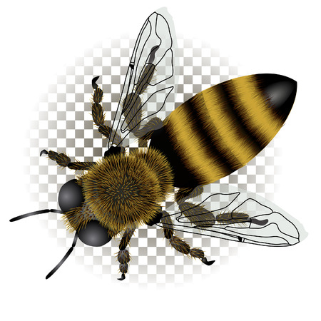 Detailed drawing of bee with transparent wings. Vector Illustration