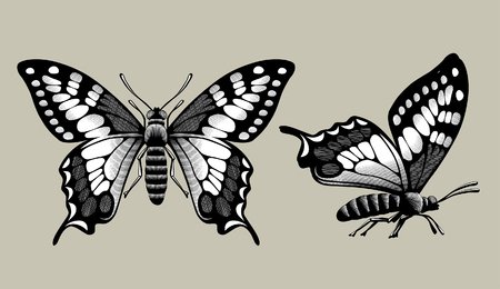 Drawing of two butterflies in vintage engraving style. Vector illustration