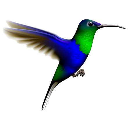 Colibrì verde e blu volante isolato su priorità bassa bianca. Illustrazione vettoriale