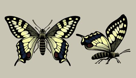 Drawing of two butterflies in vintage engraving style