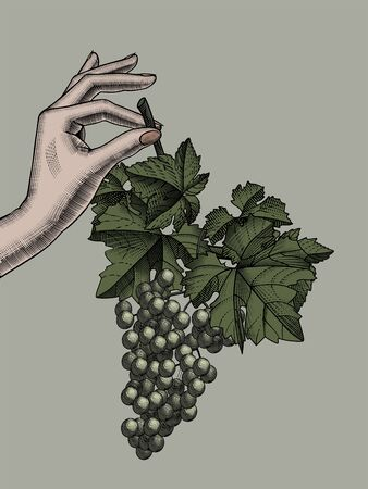 Female hand holding with bunch of grapes with leaves. Vintage black and white engraving stylized drawing. Vector illustration Ilustração