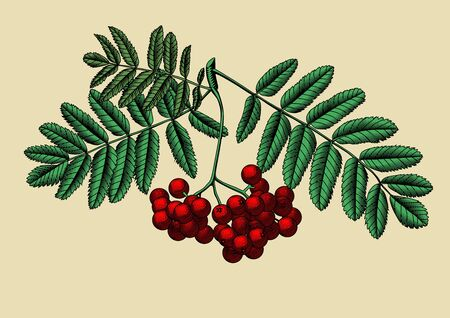Rowan branch with berries and leaves. Vintage engraving black and white stylized drawing. Vector illustration