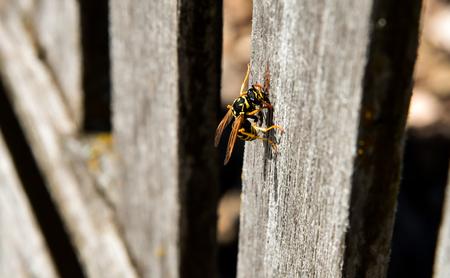 スズメバチは巣に使用される木製の公園のベンチから材料を収集します。