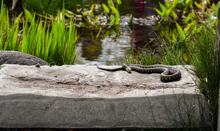 warms: A garter snake warms up in the morning sun.
