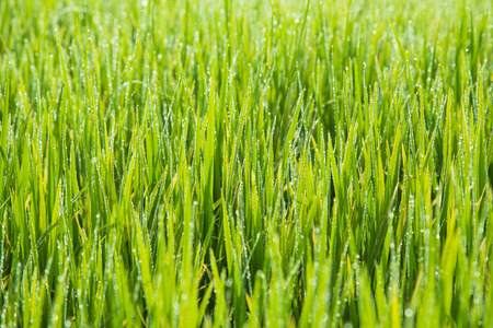 groen behang: Leaf Rice, Rice, Groen, Wallpaper