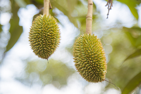 Thailand,Thai Fruit,Durian,fresh,food,Green,golden,Tree,nature,background,sweet, Stock Photo