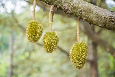 Thailand,Thai Fruit,Durian,tree,Green,golden,Tree,nature,background,sweet,