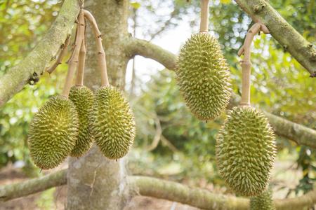 Thailand,Thai Fruit,Durian,asia,tree,food