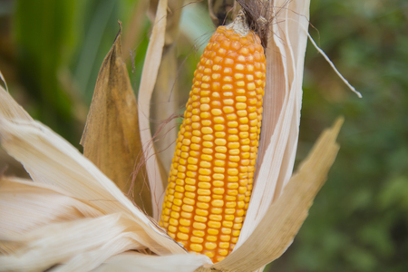 thailand,corn,food,plant,agriculture