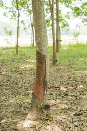 thailand,Rubber,Plant,nature,tree