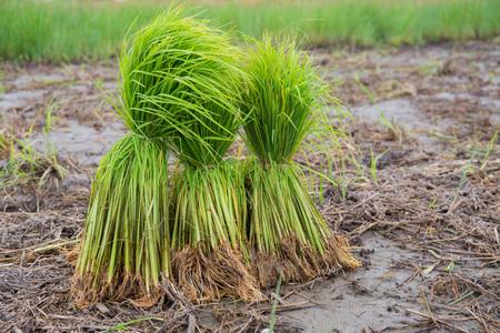 Rice field Thailand