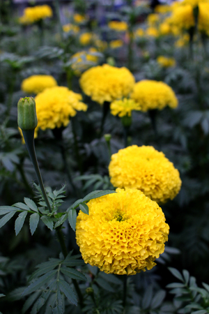 Lots of beautiful yellow marigold flowers in the garden. Stock Photo