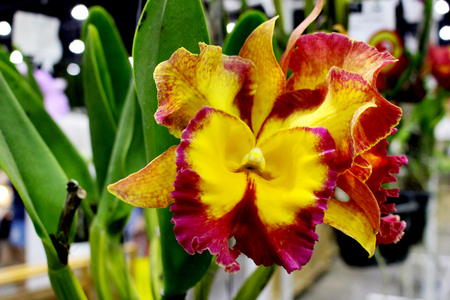 cattleya: Close-Up Yellow and Red Colors of Cattleya orchids Flower at Garden Fair  in Bangkok Thailand