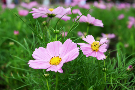 Beautiful Pink Colors of Cosmos Flowers in garden from Bangkok Thailand for Background