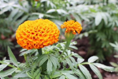 Selective Focus Beautiful Orange Colors of Marigold flowers and Green Leaf Background in garden for background 스톡 콘텐츠