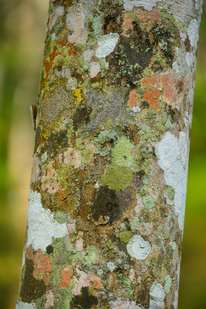 Texture of Para rubber tree bark pattern