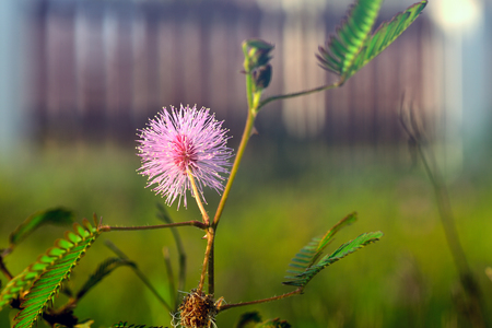 Flower heads of Mimosa pudica, Sleepy Plant