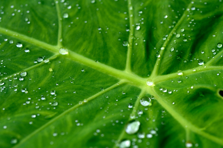 Rain water droplets on Elephant Ear plant leaf in morning