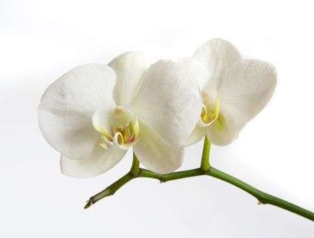 phal: White orchid on white background Stock Photo