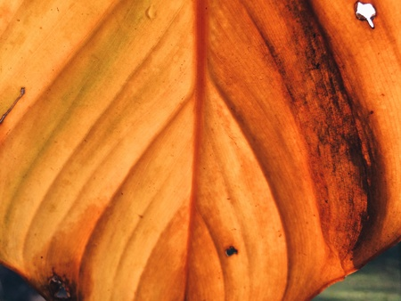 texture: Yellow leaf texture.  Stock Photo