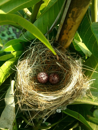 artistic: NEST. Birds Beautiful Nest On The Tree In My Farm, two little eggs too in it.