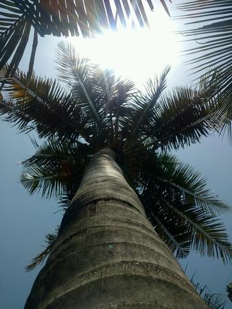 Sunshine in blue sky via coconut trees.