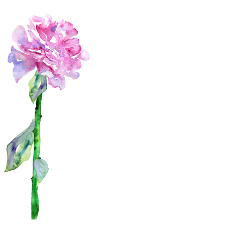 springtime flowers: White background with violet, pink peon and copy space