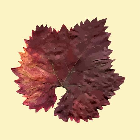 grape leaf: Isolated fall grape leaf