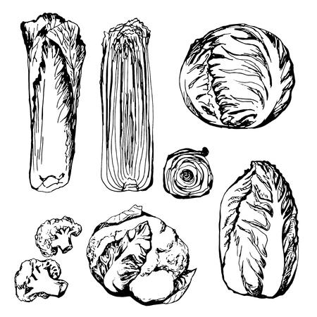 cauliflower: Hand drawn green vegetables: cauliflower, cabbage,  lettuce