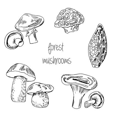 morel: Forest hand drawn edible mushrooms