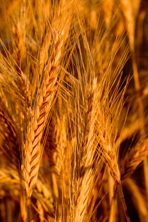 natures: Ears wheat Stock Photo